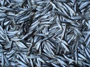 Более 1,7 тонны рыбы сняли с реализации в Нижегородской области