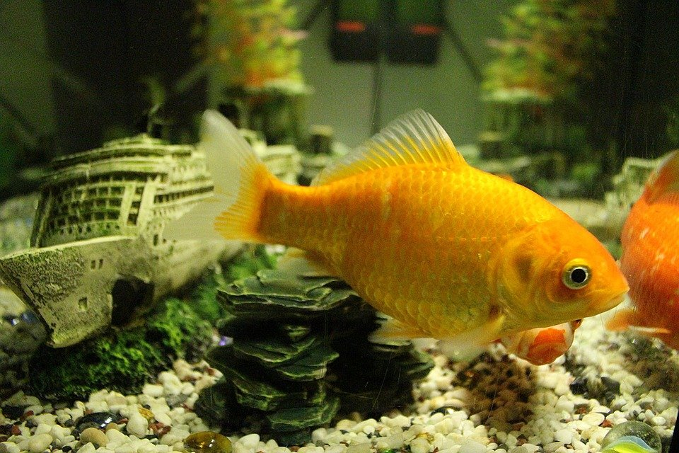 Желая помочь жене по хозяйству, нижегородец вылил в канализацию аквариум с рыбками - фото 1
