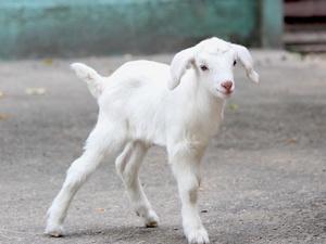 Белые козлята появились на свет в нижегородском зоопарке