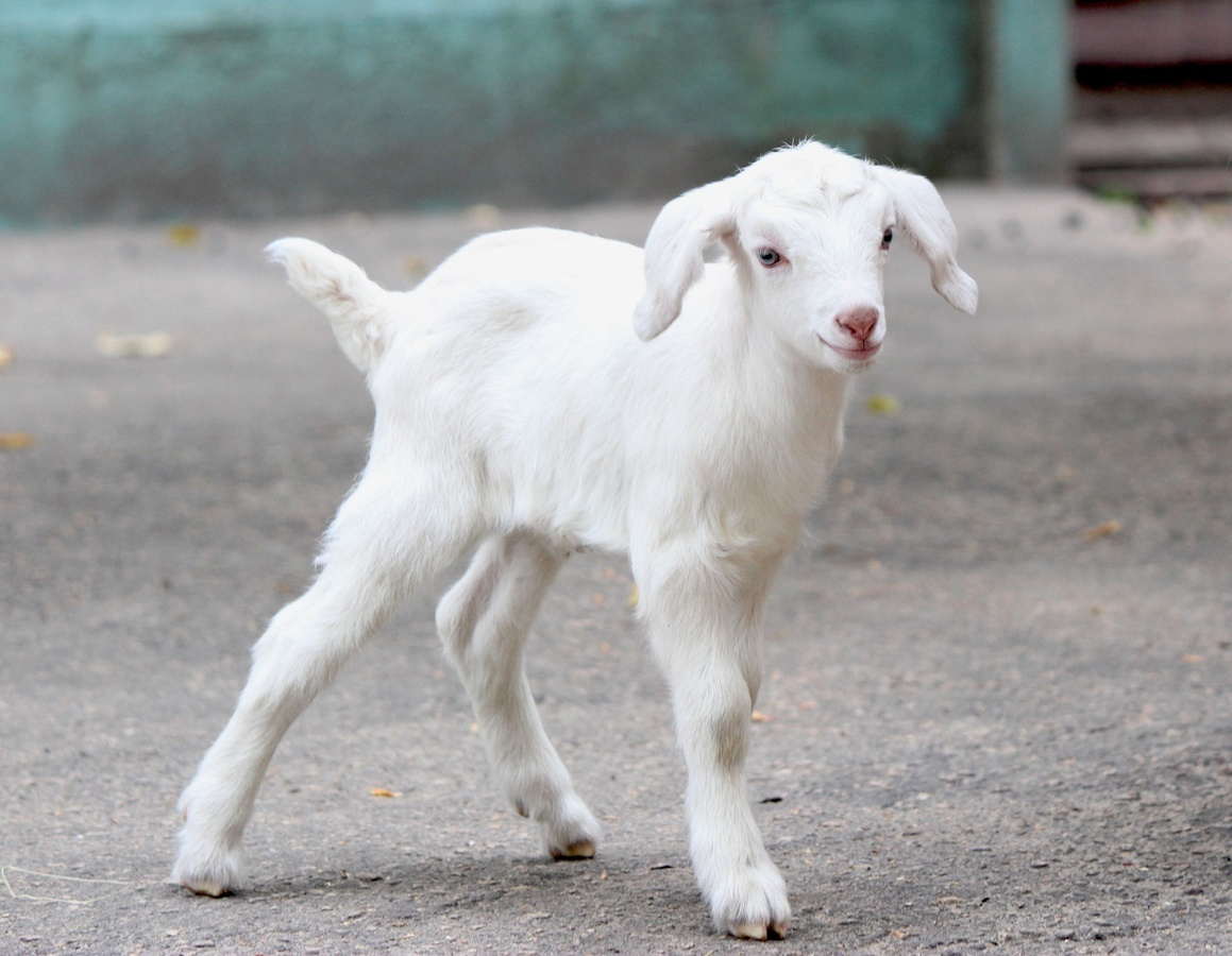 Белые козлята появились на свет в нижегородском зоопарке - фото 1