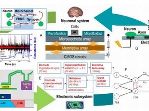 Нижегородские ученые рассказали о создании «мозга на чипе»