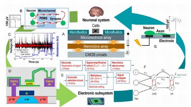 Нижегородские ученые раскрыли концепцию создания «мозга на чипе» - фото 1
