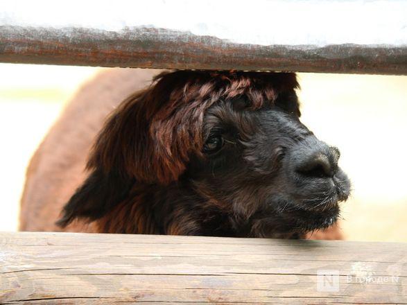 Выжить в пандемию: что происходило в закрытом зоопарке «Лимпопо» - фото 55