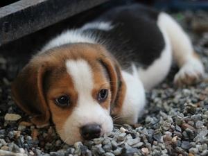 Зараженный бешенством щенок стал причиной карантина в Нижегородской области