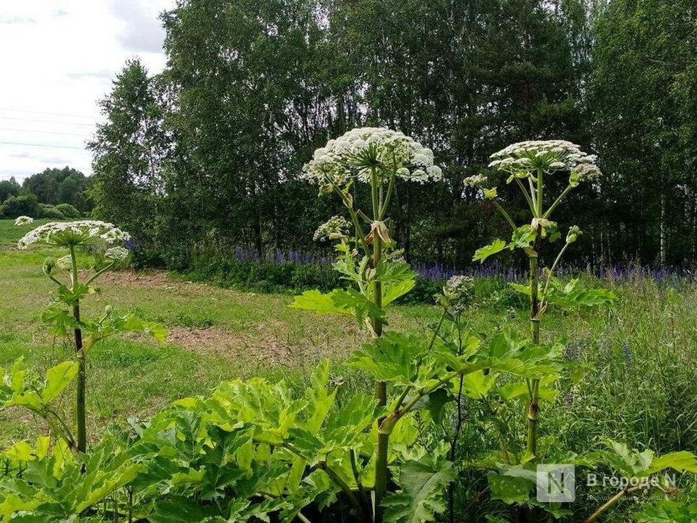 Места произрастания борщевика в Нижегородской области нанесены на специальную карту - фото 1