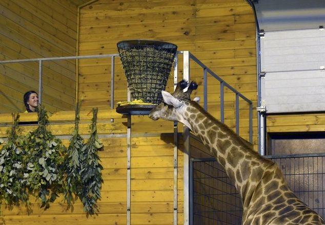 Жираф Радуга из нижегородского зоопарка отметила первый юбилей - фото 1