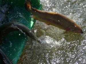 На развитие рыбоводства в Нижегородской области направят 60 млн рублей